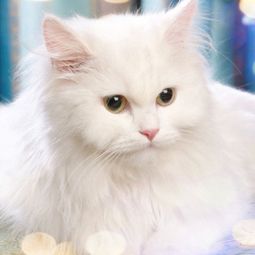 Turkish Van Cat | Cat Breeds Information | Scoop.it
