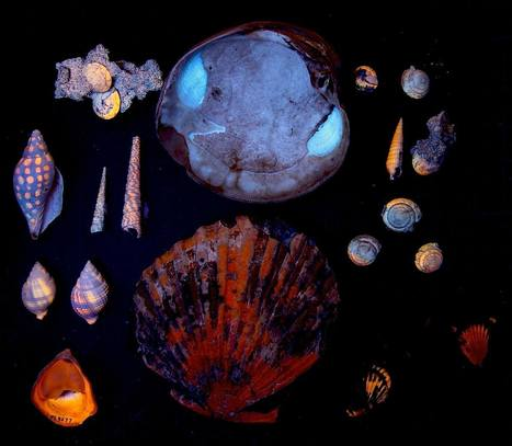 Fluorescent patterns in shells | Science | Scoop.it
