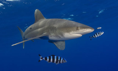 Sharks at risk of extinction from overfishing, say scientists | Geography in the classroom | Scoop.it