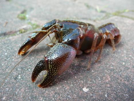 Australian endangered species: Rain Crayfish | Australian animals | Scoop.it