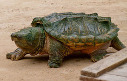Save Alligator Snapping Turtle from Extinction | GarryRogers NatCon News | Scoop.it