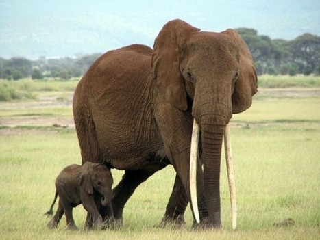 Obama Urged to Sanction Mozambique over Elephant, Rhino Poaching | Wildlife Trafficking: Who Does it? Allows it? | Scoop.it