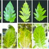 Plant-Necrotrophic Pathogen Interaction