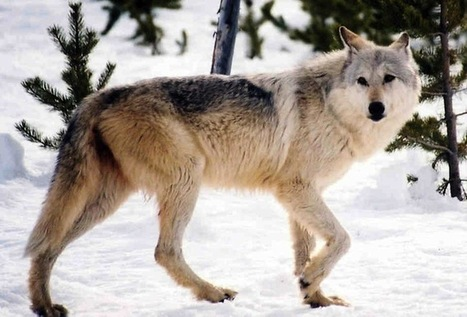 Action Alert: A Modern-Day War on Wolves is Taking Place | The Kind Life | Saving All Animals | Scoop.it