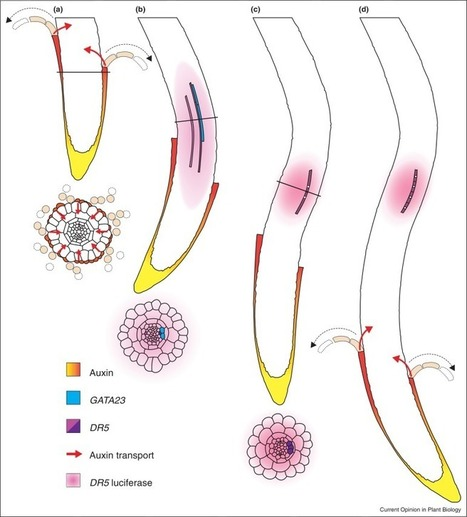 Dynamic control of lateral root positioning | Plant Cell Biology and Morphogenesis | Scoop.it