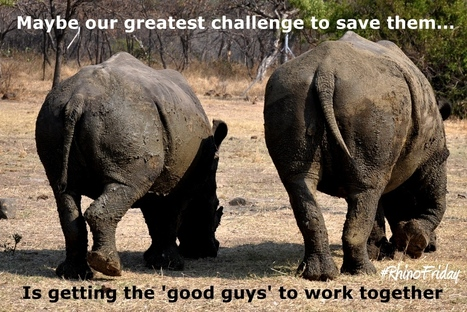 This might be our biggest challenge to save them #RhinoFriday | What's Happening to Africa's Rhino? | Scoop.it