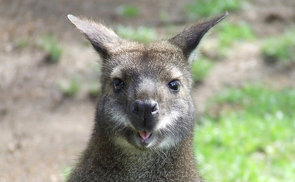 Kangaroo, Aided By Fox and Boar, Breaks Out of Zoo | This Gives Me Hope | Scoop.it