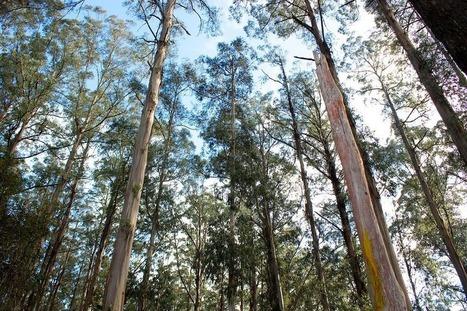 The Giant Eucalyptus of Australia | Convincingly Contrarian Crumbs | Scoop.it