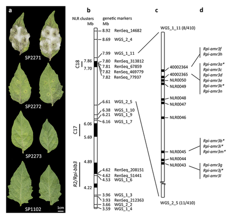 Nat Biotech: Accelerated cloning of a potato late blight-resistance gene using RenSeq and SMRT sequencing | Plant pathology | Scoop.it