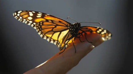 Ciência descobre novas táticas de borboletas para sobreviver | EXAME.com | Ciências da Natureza e Suas Tecnologias | Scoop.it