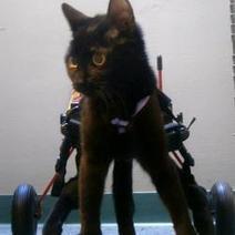 Violet, le petit chat qui réapprend à marcher (Photos et vidéo) | CaniCatNews-actualité | Scoop.it