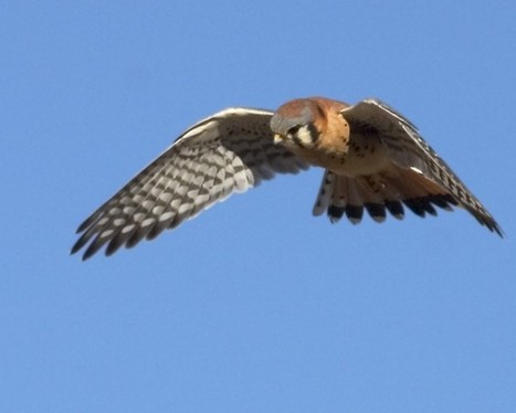 Kestrel most widespread falcon in N.A.   Mary Ann's Nature Articles from The Hutto News   Scoop.it