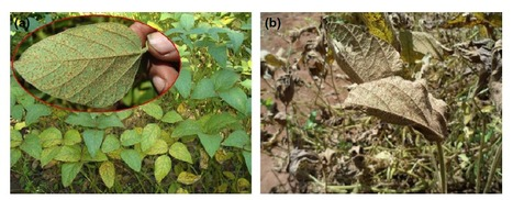 Plant Pathology (2016): Soybean production in eastern and southern Africa and threat of yield loss due to soybean rust caused by Phakopsora pachyrhizi | WU_Phyto-Publications | Scoop.it