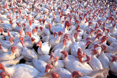 USDA Confirms Bird Flu at 5th South Dakota Turkey Farm | Grain du Coteau : News ( corn maize ethanol DDG soybean soymeal wheat livestock beef pigs canadian dollar) | Scoop.it