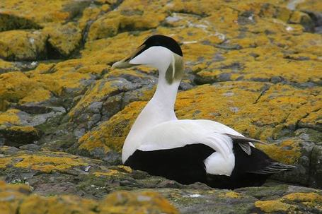 Surfbirds News: Criticism of Finland's Spring Hunting of Common Eider | Finland | Scoop.it