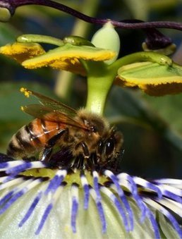 Honey bees' genetic code unlocked | 100 Acre Wood | Scoop.it