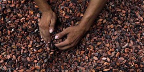Les prix du cacao s'envolent après la sécheresse en Afrique de l'Ouest   investir en afrique   Scoop.it