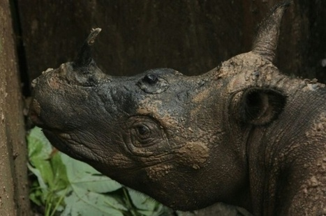 Sumatran rhino dies weeks after landmark discovery | Farming, Forests, Water, Fishing and Environment | Scoop.it