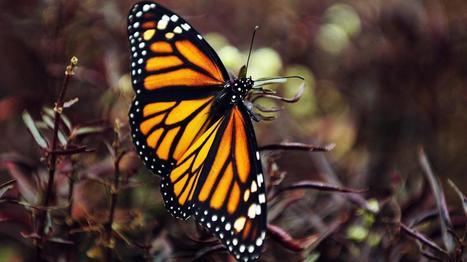 Les papillons souffrent du salage des routes en hiver | Toxique, soyons vigilant ! | Scoop.it