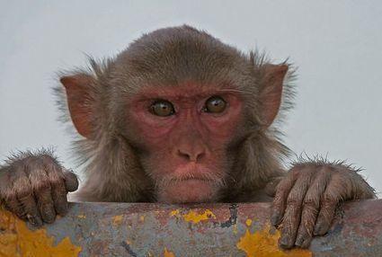 En vidéo : des singes contrôlent des bras virtuels par la pensée | I was here | Scoop.it