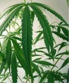 Cannabis - Drogues info service : information, aide sur drogues alcool…   svt-le cannabis   Scoop.it