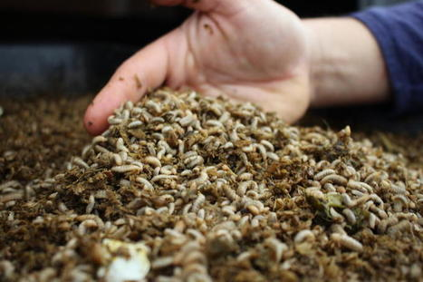 For This Colorado Scientist, Limiting Food Waste Starts In A Bucket Of Maggots   Insect rearers   Scoop.it