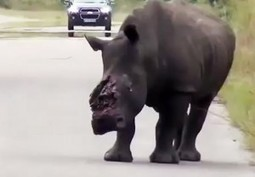 Man in court over dehorning live rhino | What's Happening to Africa's Rhino? | Scoop.it
