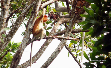 Photo 183   BEKANTAN -WILD INDONESIA   Bekantan - Wild Indonesia   Scoop.it