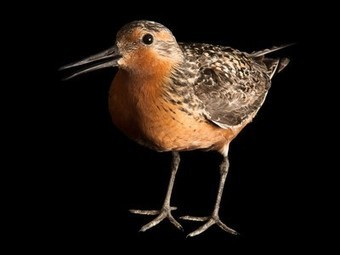Can Long-Distance Migrating Shorebird Survive? | Sustain Our Earth | Scoop.it