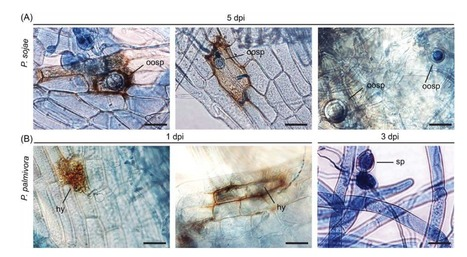 Journal of Microscopy (2016): Interaction between the moss Physcomitrella patens and Phytophthora: a novel pathosystem for live-cell imaging of subcellular defence  | WU_Phyto-Publications | Scoop.it