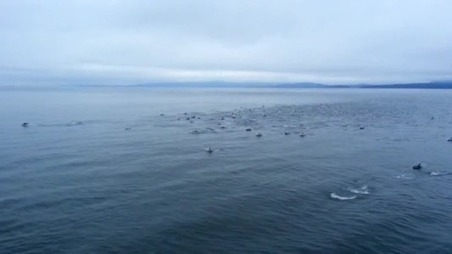 Superpod of Dolphins Swims Alongside a British Columbia Ferry | Prozac Moments | Scoop.it