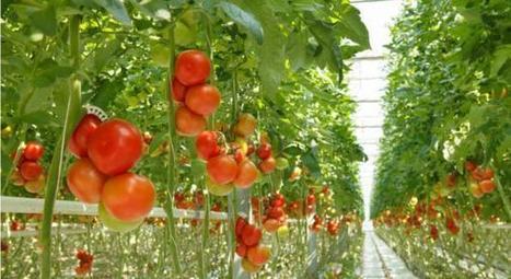Plus de 80 pesticides différents dans les fraises et les tomates - Wikistrike | Le Petit Jardinier Urbain | Scoop.it
