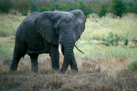Education is key in the fight to save our elephants | Pachyderm Magazine | Scoop.it