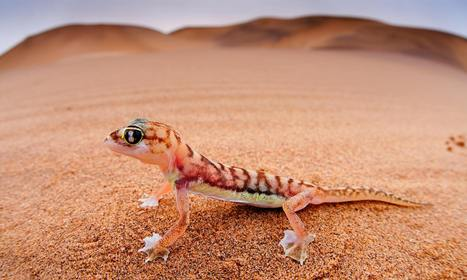Flypaper for Elephants: A New Adhesive is Based on Geckos' Feet | LambC4 | Scoop.it
