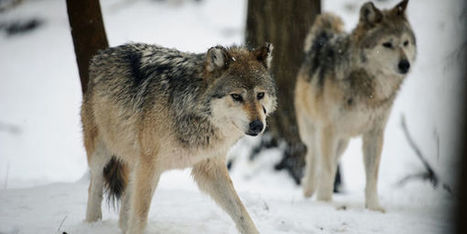 petition: Wolves Under Attack - Tell Obama To Use His Veto | Advocating for Wildlife | Scoop.it