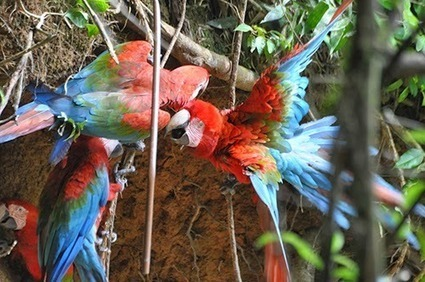 Stuart Marsden's Conservation Research Group: Dishing the dirt on Peru's parrots | Rainforest EXPLORER:  News & Notes | Scoop.it