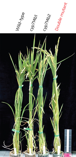 Fine-tuning plant growth - Research Highlights - RIKEN RESEARCH | Plant Gene Seeker -PGS | Scoop.it