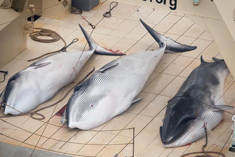 Japanese whaling fleet spotted in sanctuary | All about water, the oceans, environmental issues | Scoop.it