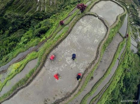 'Golden' rice   Year 10 Biology - Genetics   Scoop.it