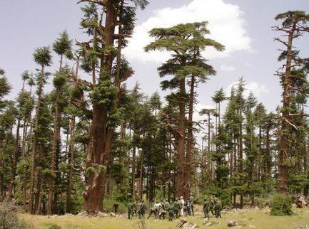 Maroc : le cèdre de l'Atlas, un patrimoine à la dérive | Geopolis | Planète, Nature et Biodiversité | Scoop.it