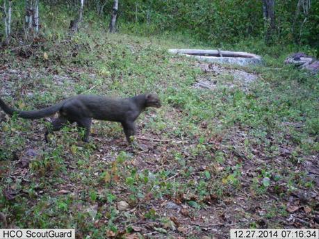 El Gato Onza (Aylurus yagouaroundi), es también conocido como Leoncillo, Jaguarundi, Onza o León del bosque. | Bichos en Clase | Scoop.it