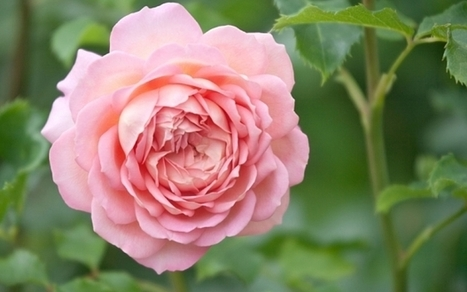 What is  the  best  way to  transplant roses | Earth Gardening | Scoop.it