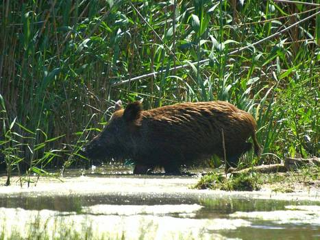 Boozy feral pig steals beer, gets drunk and starts fight with a cow | Geography Bits | Scoop.it