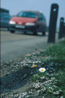 Taken With A Pinch Of Salt- Danish Scurvy Grass Thrives Along Gritted Roads   Botany Roundup: Worthy Plant News   Scoop.it