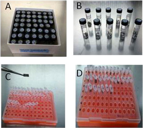 An expedited method for isolation of DNA for PCR from Magnaporthe oryzae stored on filter paper | Rice Blast | Scoop.it
