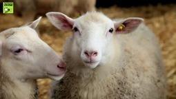 Evaluation de l'impact de la circulation du virus Schmallenberg (SBV) sur les performances de reproduction dans les troupeaux ovins laitiers | Schmallenberg virus | Scoop.it