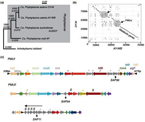 Current Opinion Microbiology: The genome biology of phytoplasma: modulators of plants and insects (2012) | Plant Genomics | Scoop.it