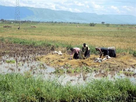 Rice farmers lose harvest to floods - Gant Daily | Climate Chaos News | Scoop.it
