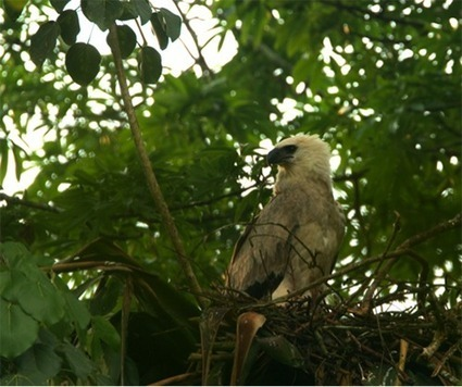 TWO NEW HARPY EAGLE NESTS FOUND IN MAYA MOUNTAINS OF BELIZE | Belize in Social Media | Scoop.it