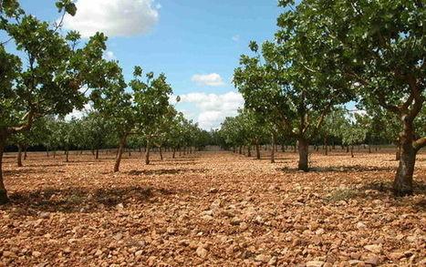 El cultivo de pistacho en C-LM se eleva hasta las 22.000 hectáreas y ya supone el 80% del total español | Cultivos | Scoop.it
